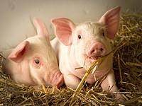11月各上市公司生猪出栏数据汇总-附券商解读