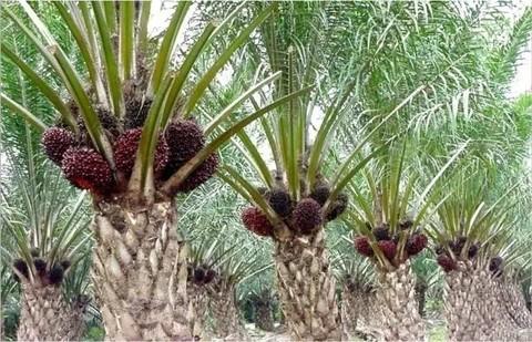 棕榈果经水煮,碾碎,榨取工艺后,得到毛棕榈油,毛棕榈油经过精炼,去除